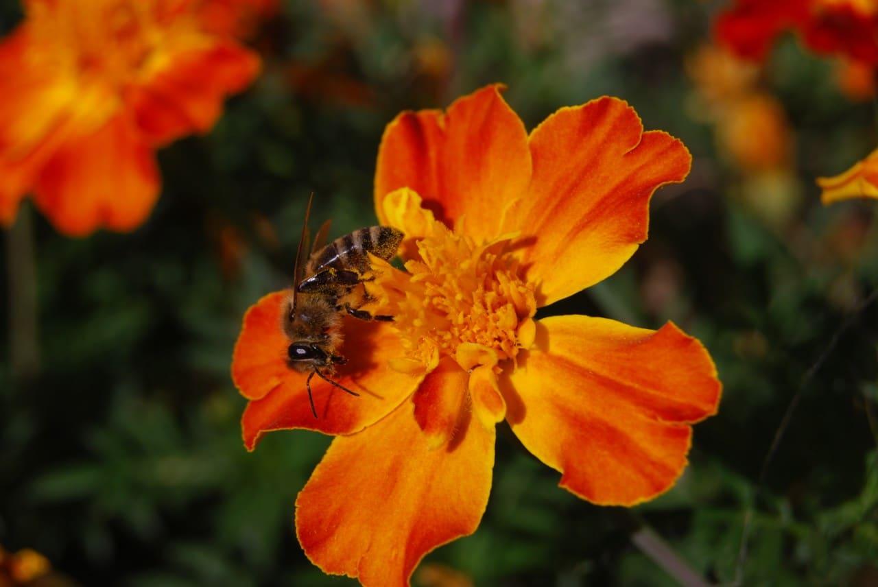 pčela-i-cvet